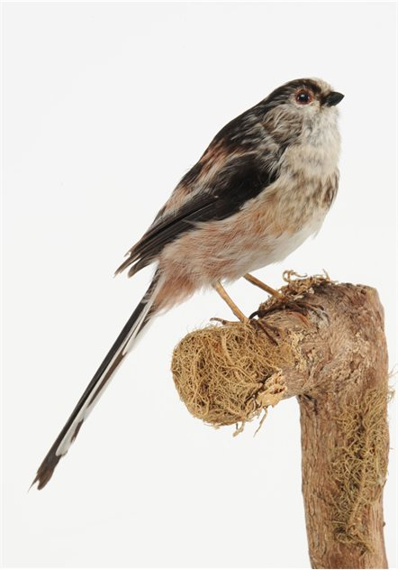 Image: Long-tailed tit - 6 December 2001, Lurgan, County Armagh. Taxidermist Kenny Murphy. BELUM.Lg2009.04
