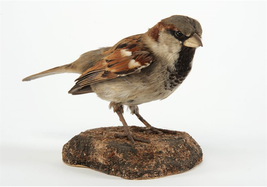 Image: House sparrow - male, Downpatrick, County Down, Taxidermist Williams. BELUM.Lg7212