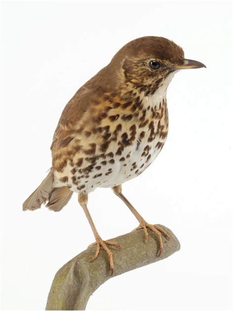 Image: Song thrush - male, 20 February 1919, Belmont, County Down, Taxidermist Sheals. BELUM.Lg5777