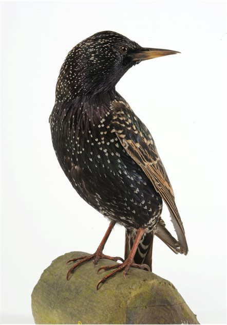 Image: Starling - male, 20 January 1915, Whiteabbey, County Antrim, Taxidermist Sheals. BELUM.Lg5761