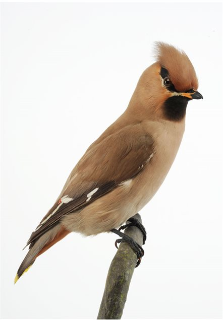 Image: Waxwing - female, 27 November 1921, Lower Balliderry, County Antrim, Taxidermist Sheals. BELUM.Lg7147
