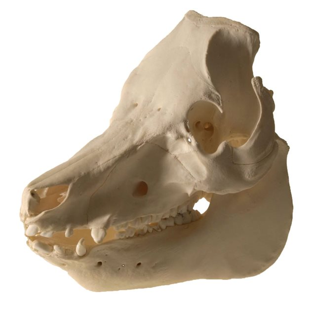 Image: Domestic pig skull © National Museums Northern Ireland