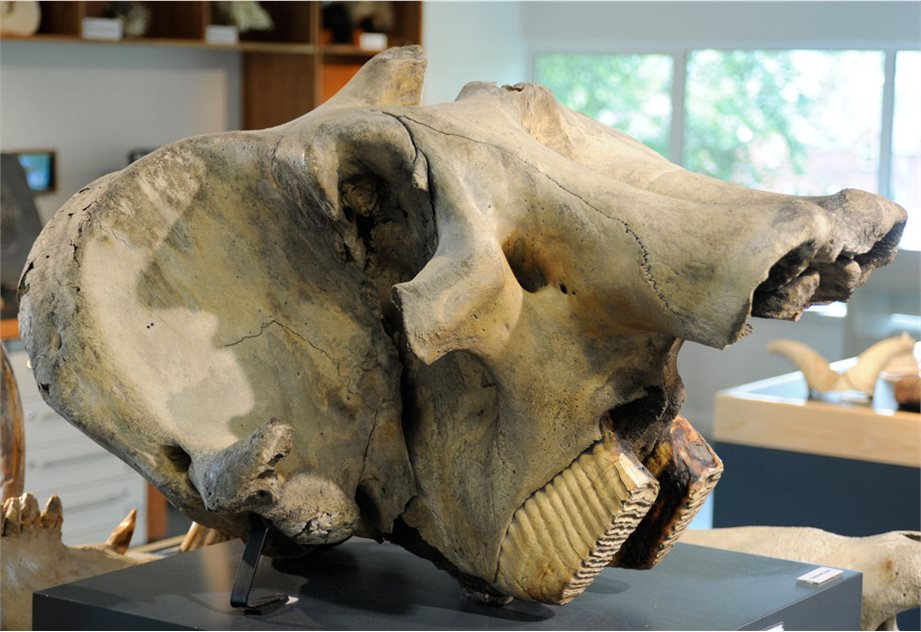 Image: Indian elephant skull on display in Discover Nature © National Museums Northern Ireland