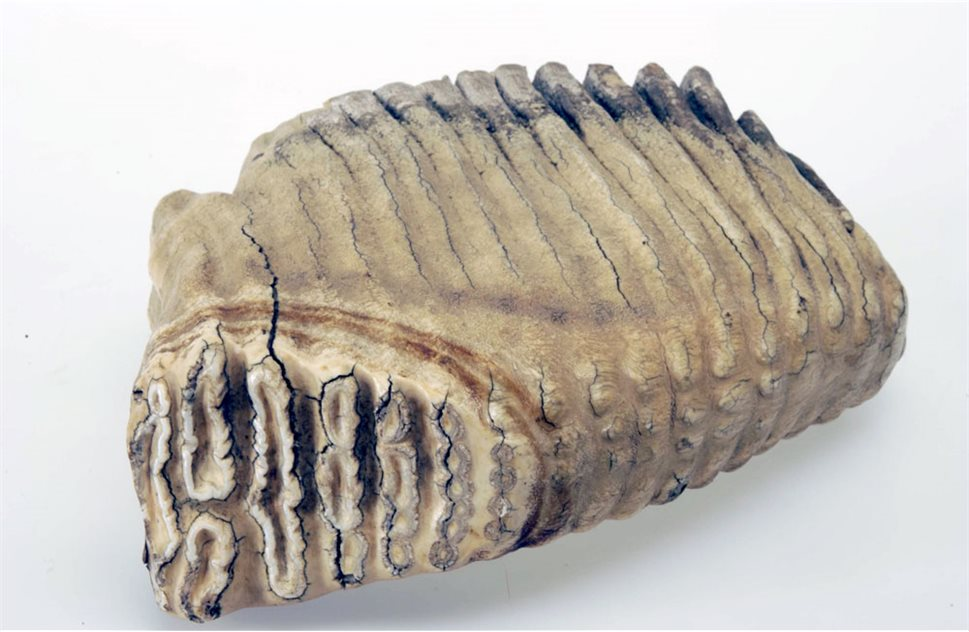 Image: Indian elephant tooth © National Museums Northern Ireland
