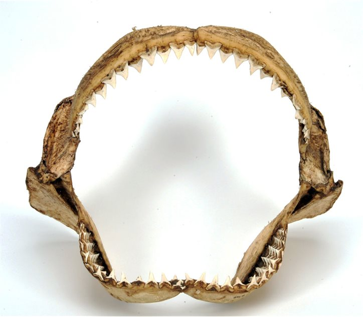 Image: Shark jaws © National Museums Northern Ireland