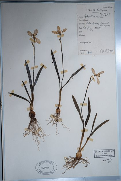 Image: A pressed herbarium specimen of the snowdrop (Galanthus nivalis) from the Ulster Museum's collection (accession number BELUM.H60840). The specimen was collected on the 6th of March, 1932 by Rev. Frederick Hugh Woodhams Kerr the curate-in-charge at Arboe, Co Tyrone from the rectory orchard.