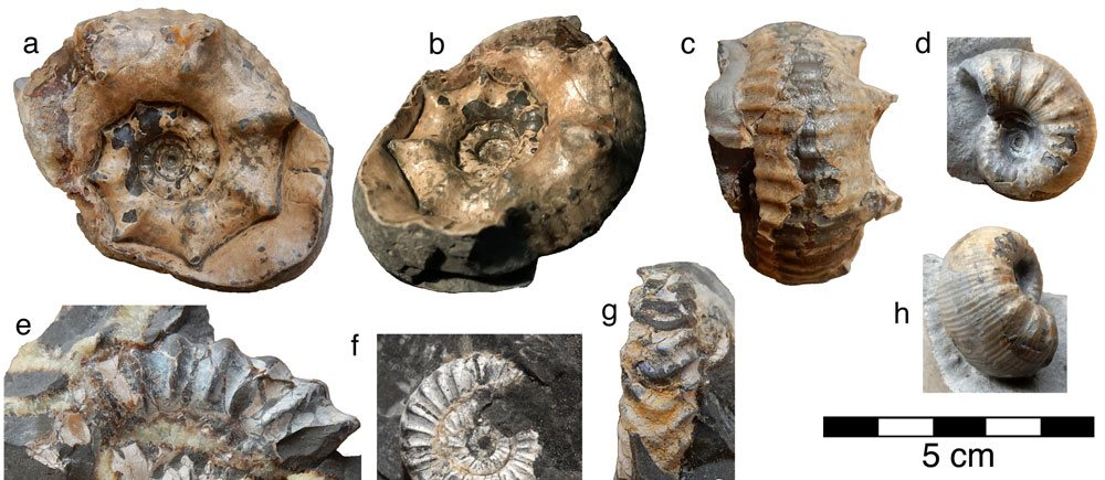 Image: The knobbly Vicininodiceras dalratiense (a-c), its cousin Vicininodiceras simplicicosta (d, h), and some other ammonites from White Park Bay. These pictures are from a forthcoming paper on my old friends from White Park Bay.
