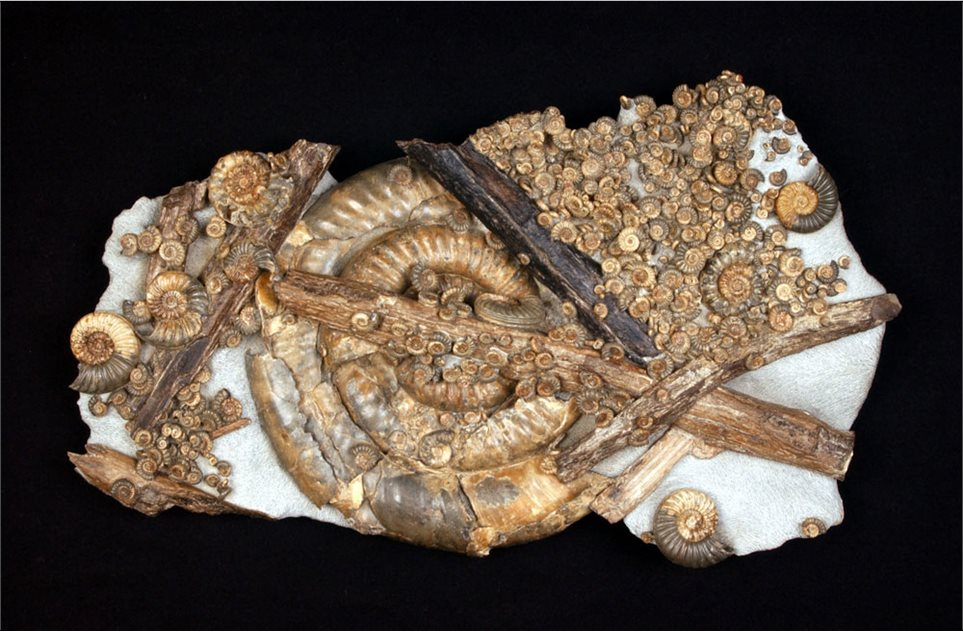 Image: An amazing piece from Lyme Regis, with four different species of ammonite and several pieces of wood. Awesome!
