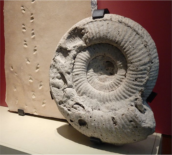 Image: A beautifully elegant Portland ammonite, Titanites, in the Ulster Museum.