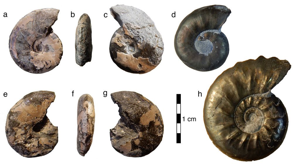 Image: Small, but perfectly formed; Cheltonia and its cousins. All of these tiny ammonites are fully grown. Three are the new Cheltonia howarthi from White Park Bay (a-c and e-g). It's perhaps not the most exciting ammonite you have ever seen... The other two are close relatives from those Gloucestershire landfill sites; Cheltonia acciptris (h) and Paracymbites dennyi (d).