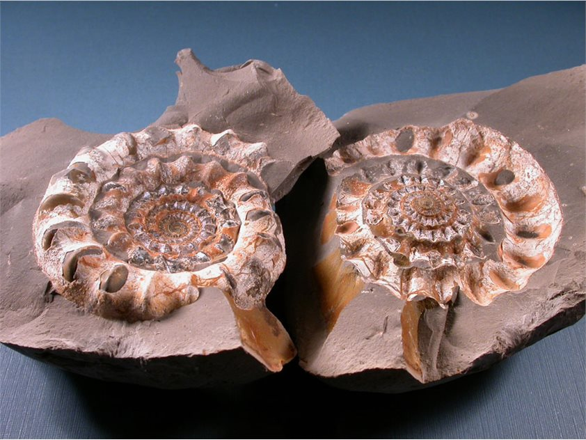 Image: A lucky find at White Park Bay, May 2003, and an old friend. This ammonite, called Echioceras, is the most common type found at White Park Bay. This one, about 8 cm across, is just like some that I found back in Gloucestershire in the 1970s.
