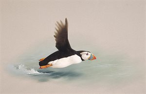 Puffin over the Water