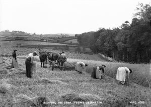 REAPING THE CORN, TOOME, CO. ANTRIM