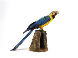 BIRD; Blue-and-yellow Macaw