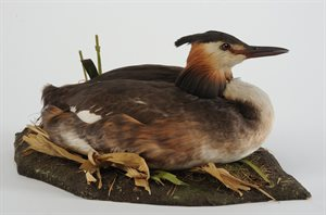 BIRD; Great Crested Grebe