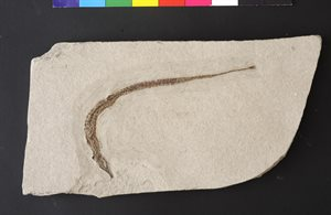 FOSSIL;  Pipefish