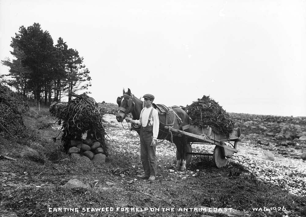 Carting seaweed on the coast, County Antrim. HOYFM.WAG.1926 © National Museums Northern Ireland
