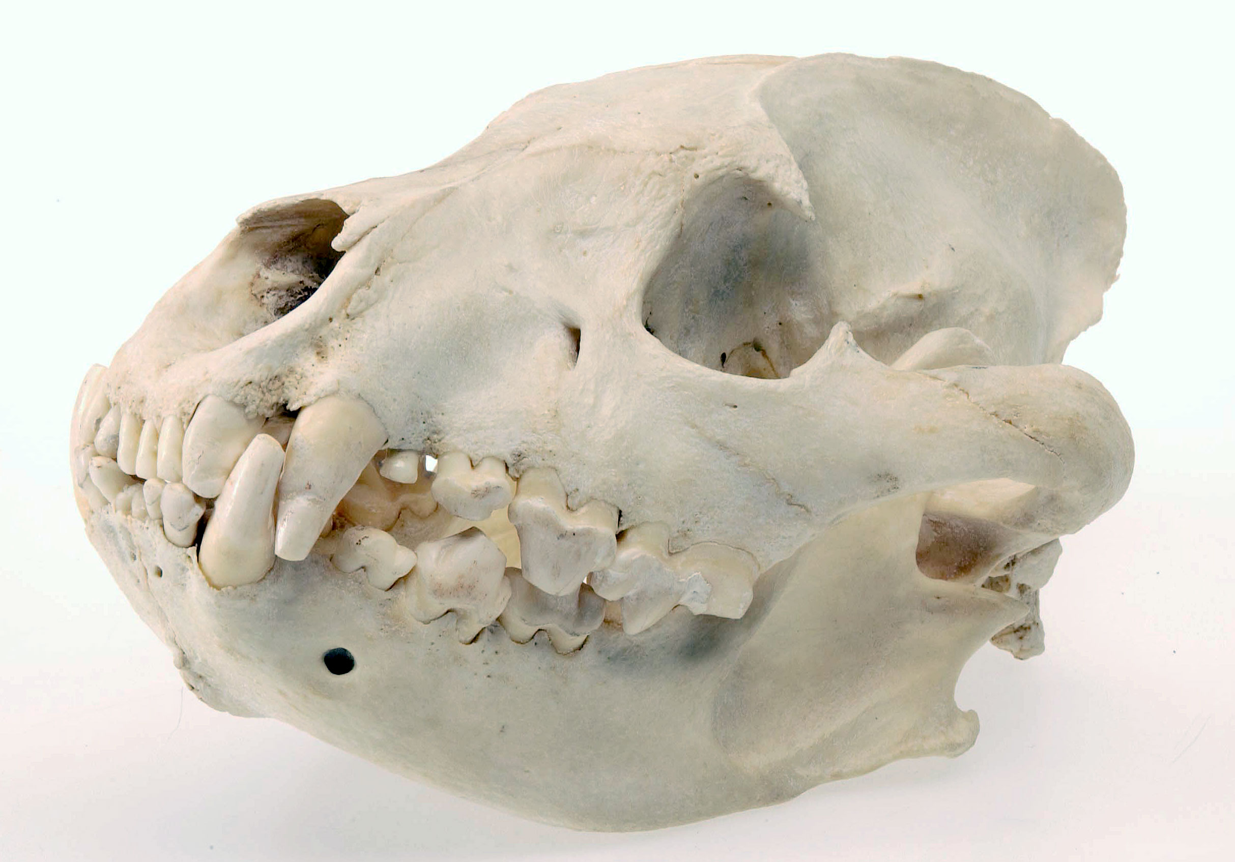 Hyena skull © National Museums Northern Ireland