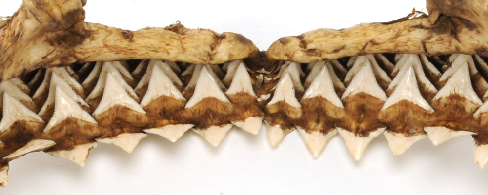 Close up of the multiple rows of serrated teeth in the jaw © National Museums Northern Ireland