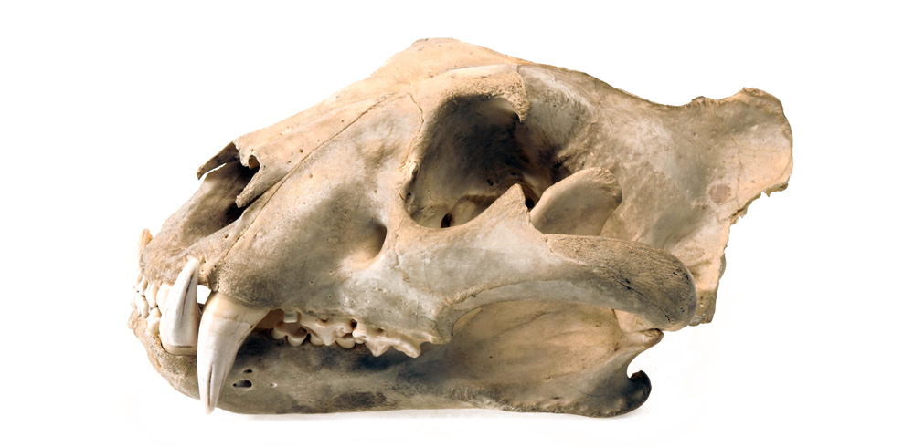 Tiger skull showing the sagittal crest on top of the skull © National Museums Northern Ireland